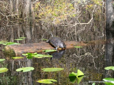 Turtle in the Okefenokee Swamp